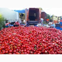 Болгарский перец - красный. Самовывоз. Закарпатье. 40 тонн