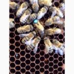 Продаю бджолині сім#039;ї. Карніка
