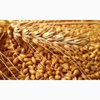 Компанія постійно закуповує у сільгоспвиробників Пшеницю з Домішкою Ячменю