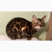 Бенгальские котята. Бенгальская кошка купить в Виннице