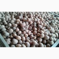 Срочно продам посадочный картофель от поставщика