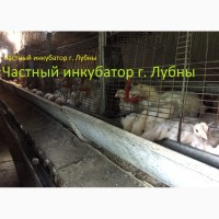 Подрощенные цыплята Бройлера КООБ-500