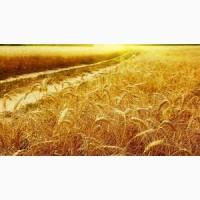 Семена озимой пшеницы Лиль