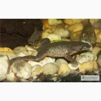 Аквариумная лягушка серая. Доставка по Украине