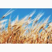 Семена озимой пшеницы ЖУРАВКА ОДЕССКАЯ