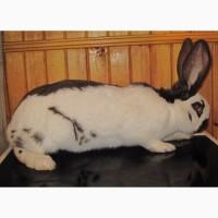 Продам крольчиху породы немецкий пестрый великан гавана