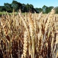 Семена озимой пшеницы БЛАГОДАРКА ОДЕСЬКА