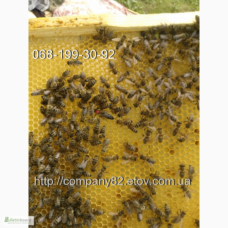 Фото 5. Пчёлы: Карпатка.Пчелопакеты 2018 г. Пчелиные плодные матки. Доставка по Укр