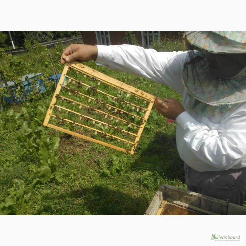 Фото 7. Пчёлы: Карпатка.Пчелопакеты 2018 г. Пчелиные плодные матки. Доставка по Укр
