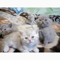 Продаются британские котята лилового окраса, с мрамором, пятнистые, вислоухие и прямоухие
