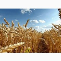 Семена озимой пшеницы АХИМ Германия