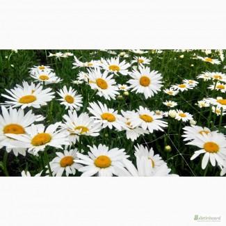 Ромашка белая супер ранняя, крупноцветковая, на срез