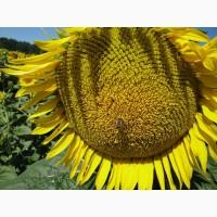 Досходові гібриди соняшнику під класичну технологію вирощування