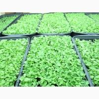 Семена табака Ксанти, 20грн-более 2000семян, есть несколько сортов