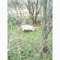 Продам свиноматку ветнамскую белую