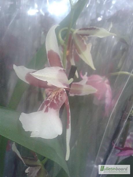 Фото 2. Купить Орхидеи, продажа орхидей, черная орхидея Киев