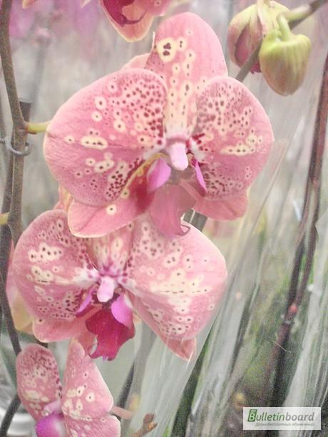 Фото 4. Купить Орхидеи, продажа орхидей, черная орхидея Киев
