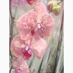 Купить Орхидеи, продажа орхидей, черная орхидея Киев