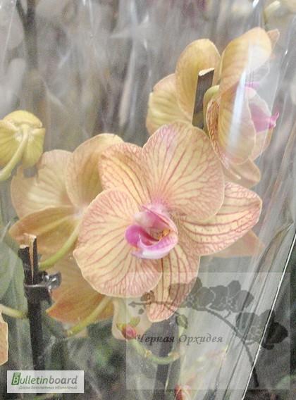 Фото 5. Купить Орхидеи, продажа орхидей, черная орхидея Киев