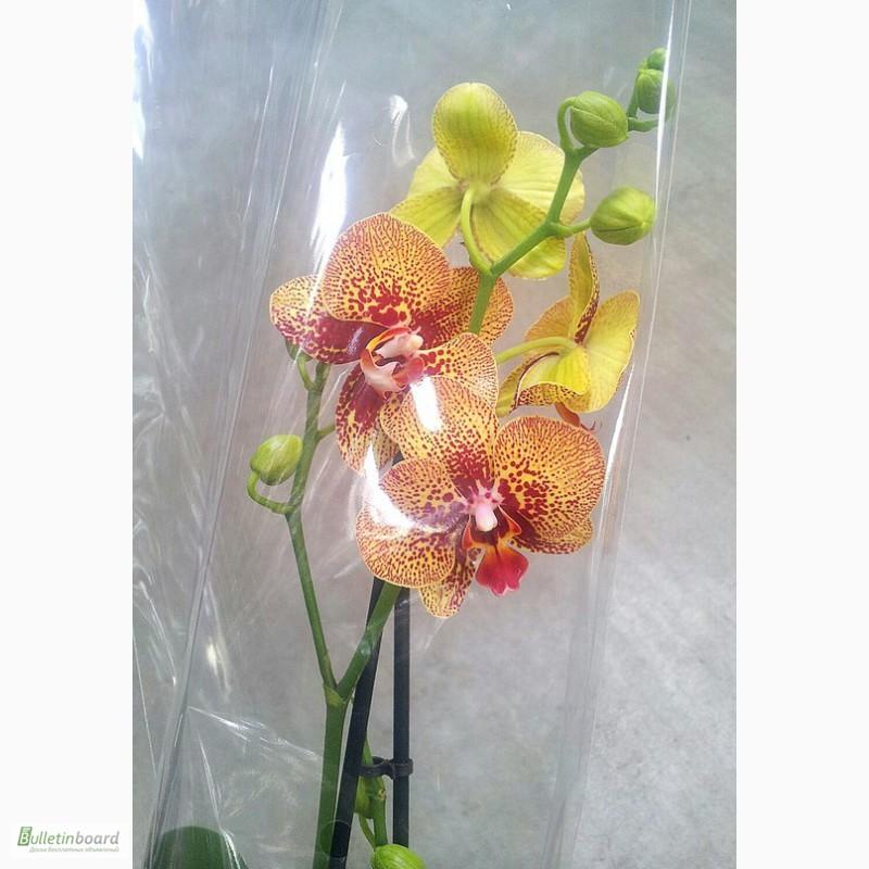 Фото 7. Купить Орхидеи, продажа орхидей, черная орхидея Киев