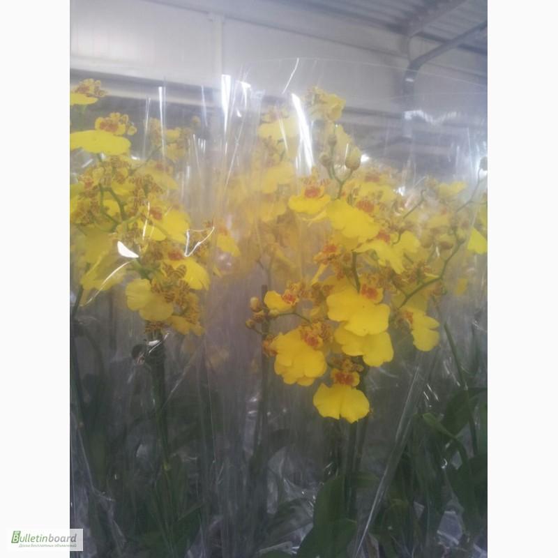 Фото 8. Купить Орхидеи, продажа орхидей, черная орхидея Киев