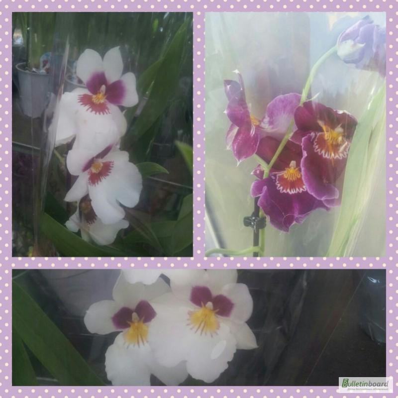 Фото 9. Купить Орхидеи, продажа орхидей, черная орхидея Киев
