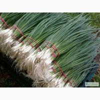 Продам семена Лук на перо Лонг Уайт Кошигая (Sakata, Япония)