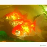 Продажа золотых рыбок! АКЦИЯ!!! Корм Золотая рыбка в подарок