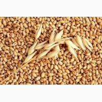 Закупаем пшеницу 1-6 кл отходи на самовывоз