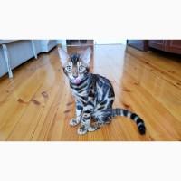 Бенгальская кошка. Продажа котят бенгальской породы. Одесса