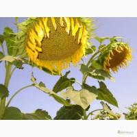 Семена подсолнуха под гранстар и евролайтинг по выгодным ценам
