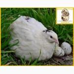 Яйца инкубационные перепела Белый Техасец - бройлер (США Texas A M)