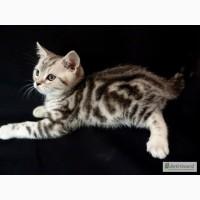 Продам шотландских котят (скоттиш страйт) мраморных окрасов от Чемпионов породы