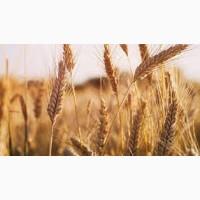 Семена озимой пшеницы ВАНЕССА Чехия