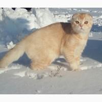 Снежный барс! Продается будущий племенной котик производитель scottish fold редкого тик