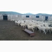 Овцы Романовские, Меринос Экспорт