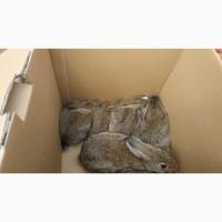 Дикий кролик, мисливський охотничий австралийский кролик