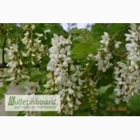 Акація біла цвіт продам