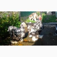 Кохинхин Мраморный инкубационные яйца