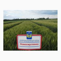 Озима пшениця Новосмуглянка потенційна врожайність сорту 100 ц/га