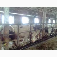 Продам коровы нетели от производителя