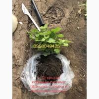 Маточники хризантемы Мультифлора и срезачной хризантемы оптом 2021