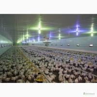 Підрощені курчата бройлери вага від 600 грам
