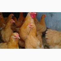 Орпингтон Жёлтый инкубационные яйца