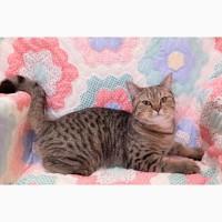 Уникальный шотландский котенок подросток от золотой шиншиллы