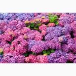 Питомник Компанія Вирощує Саджанці Гортензія 3 річні садова крупнолиста, деревовидна є ОПТ