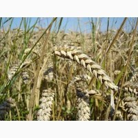 Насіння озимої пшениці сорт Богдана, Еліта (Реалізуємо від1т)