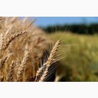 Семена озимой пшеницы ТОРРИЛД Германия