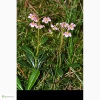 Купити зимолюбку зонтичну траву