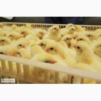 Курчата бройлери добові Росс 308 від 1 - 10 дня